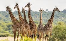 Group Of Six Giraffes In Taran...