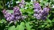 Lilac bush