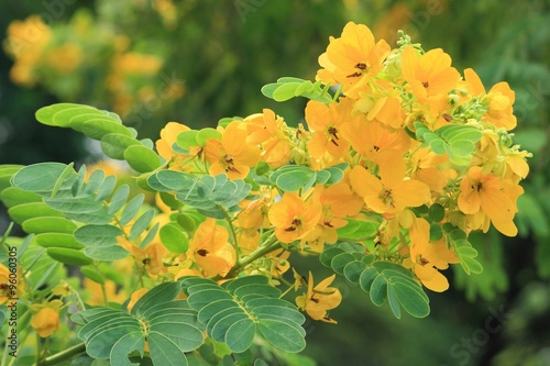 Fotografia  Flower of Scrambled Egg Tree - Senna surattensis (Burm.f.)