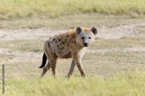 In de dag Hyena Hyena in National park of Kenya