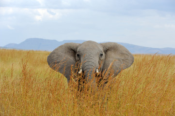 Fototapeta Słoń Elephant in National park of Kenya