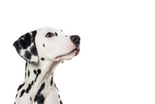 Dalmatian Dog Portrait Looking Up And To The Right On A White Background