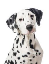 Dalmatian Dog Portrait Isolate...