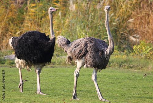 In de dag Struisvogel Straußenpaar