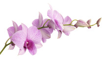 Pink Dendrobium Orchid Isolated On White Background.