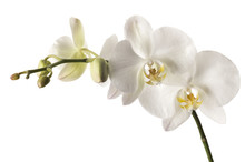 White Dendrobium Orchid Isolated On White Background.
