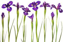 Purple Irises Isolated On White Background