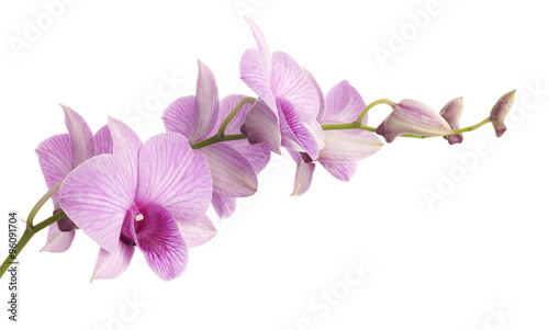 Obraz na plátne pink dendrobium orchid isolated on white background.