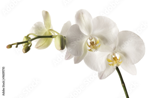Fotomural White dendrobium orchid isolated on white background.