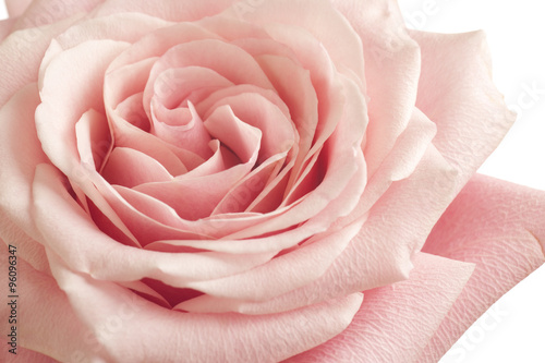 Photo  pink rose closeup