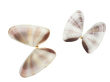 Coquina Butterfly Shells Isola...