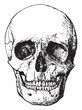 Front view of skull, vintage engraving.