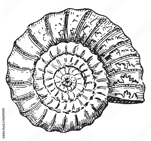 Ammonite, vintage engraving. Canvas Print