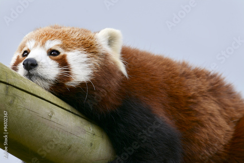 Bored Zoo Animal Canvas Print