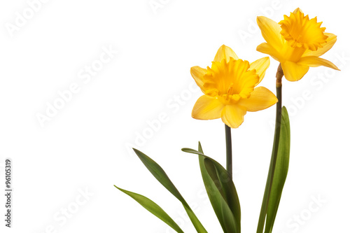 yellow daffodil isolated on white background Fototapeta