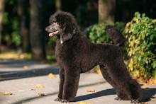 Black Standard Poodle Dog Outdoor