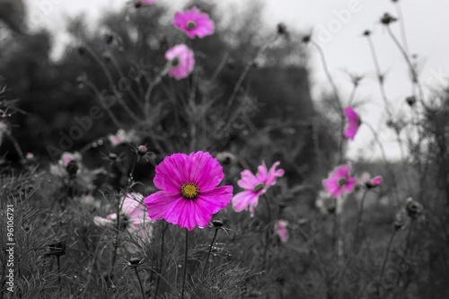 Fotografie, Obraz  Cosmos flower