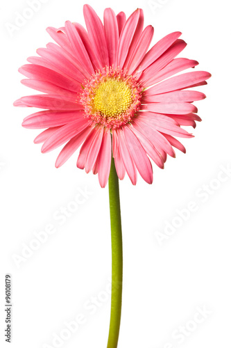 Foto op Canvas Madeliefjes pink daisy isolated