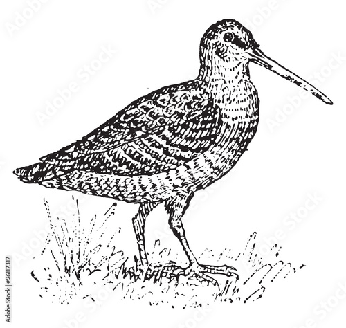 Woodcock, vintage engraving. Wallpaper Mural