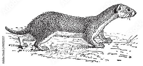 Foto  Weasel, vintage engraving.