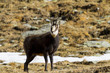 Alpine chamois looking