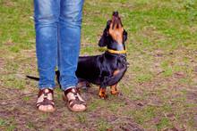 Dog Dachshund Executes The Host
