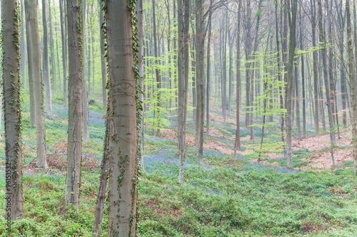 Foto auf Acrylglas Wald im Nebel beech forest with flowers in spring