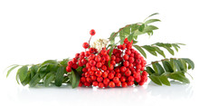 Rowanberry With Leaves Isolate...