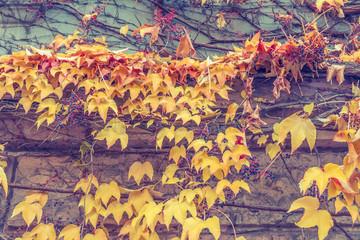 Herbstliche Weinranken - Hintergrund