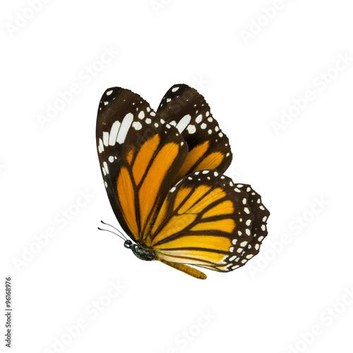 Photo  common tiger butterfly , Danaus Genutia , monarch butterfly isol