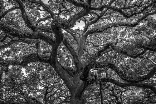 Spanish Moss  Die grün-grauen Bartflechten der Bäume in