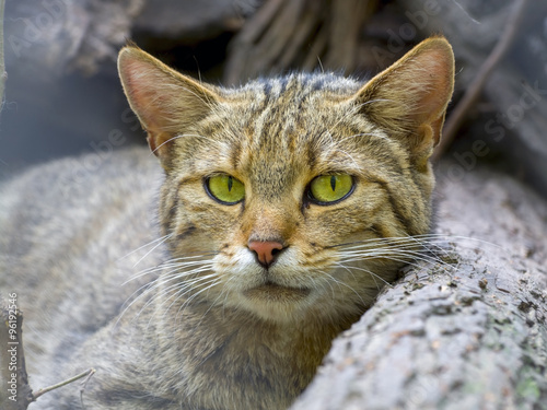 European wild cat (Felis silvestris silvestris) Poster