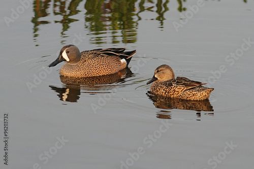 Aufkleber - Blue-winged Teal