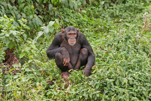 Fotografie, Obraz  Adult chimpanzee seating in front of bush