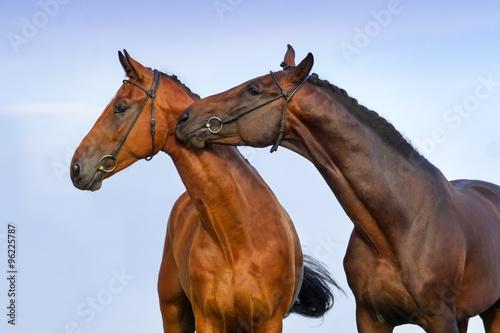 Fotografie, Tablou  Two beautiful bay horse couple portrait against blue sky
