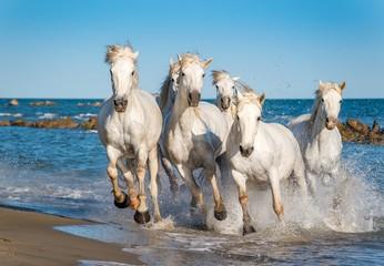 Fototapeta Optyczne powiększenie Herd of White Camargue Horses fast running through water in suns