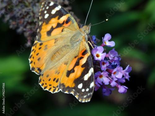 Fotografie, Obraz  Vanesse de chardon posé sur un lilas fané avec ses ailes ouvertes