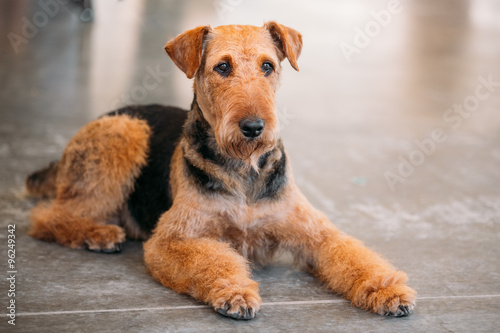 Photo Brown Airedale Terrier Dog Close Up