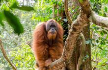 Sumatran Wild Orangutan In Gunung Leuser National Park In Northern Sumatra, Indonesia