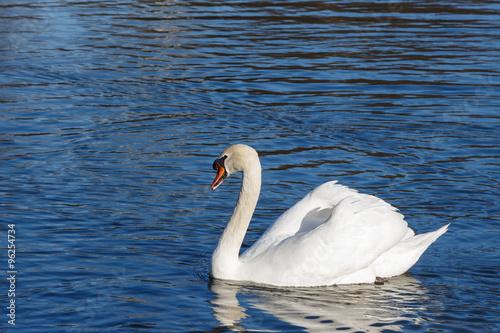 Foto auf Acrylglas Schwan White swan on lake