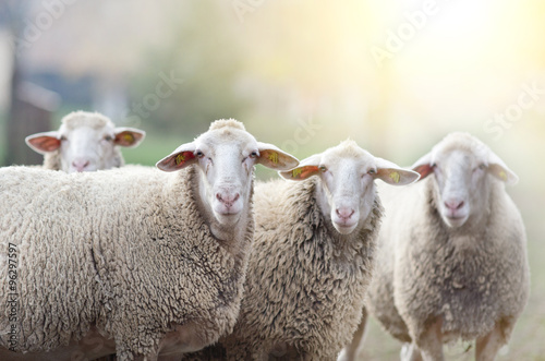 Foto op Canvas Schapen Sheep flock standing on farmland