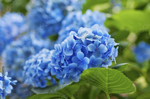 Montage in der Fensternische Hortensie Hydrangea flowers background