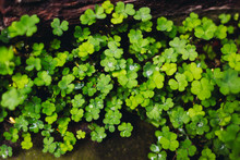 Lucky Clover With Raindrops