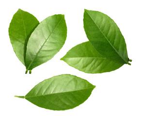 Fototapeta Lemon leaf isolated on white background