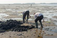 Two Digging Men Seeking Lugworms