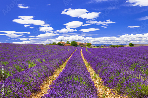 violet feelds of blooming lavander in Provance, France