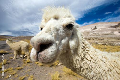 Poster Lama lamas