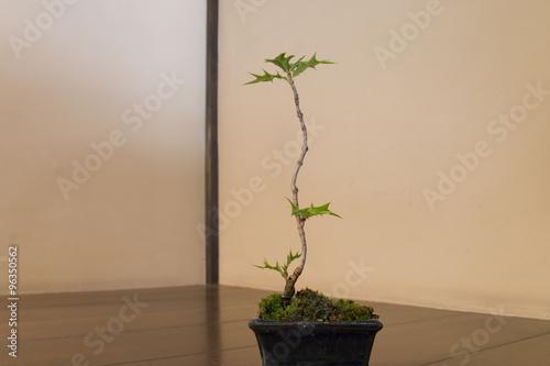 盆栽・ヒイラギ