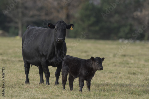 Black Angus Calf Canvas Print