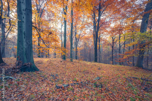 Tuinposter Baksteen Colorful autumn beech forest in the fog, ground covered with brown fallen leaves